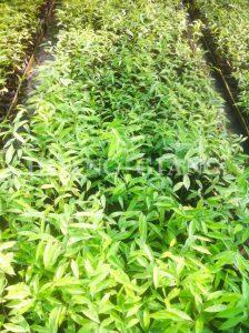 Aquilaria crassna Seedlings